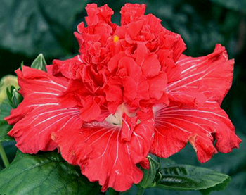 hidden valley hibiscus hibiscus care